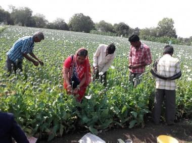 Mandsaur agitation: Poppy husk smuggling, lack of technical knowledge plague opium farmers in Madhya Pradesh