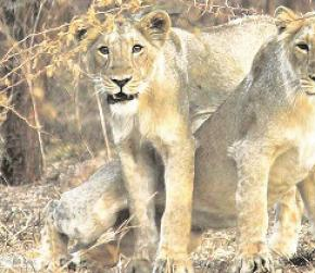 Lions in Gir forest safe as they seek refuge from rain on hillocks, say forest officers